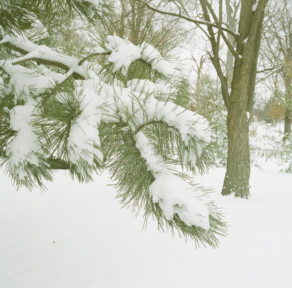 Dodd_SnowPine